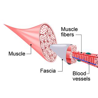 Fascia diagram